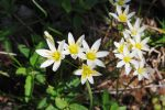 False Garlic, Nothoscordum bivalve