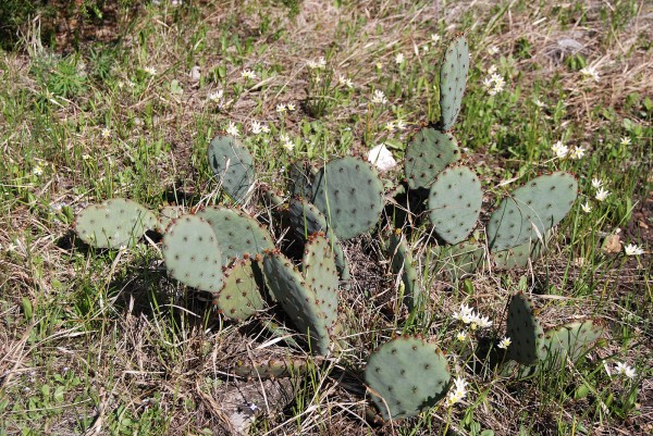 Prickly Pear Cactus, surrounded by False Garlic at the Sac River Trail in March 2012.