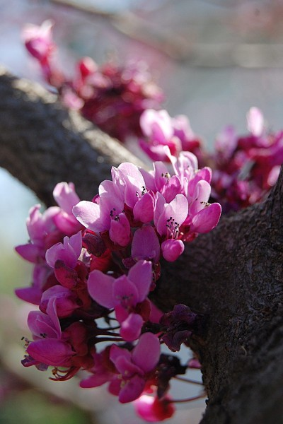 Picture of American Redbud, a spring flowering tree native to the Ozarks.