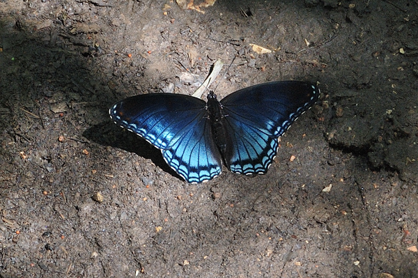 Red Spotted Purple Butterfly, Limenitis arthemis astyanax, seen at Busiek State Forest and Wildlife Area in April.