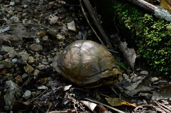Tortoise on the trail and Hercules Glades Wilderness