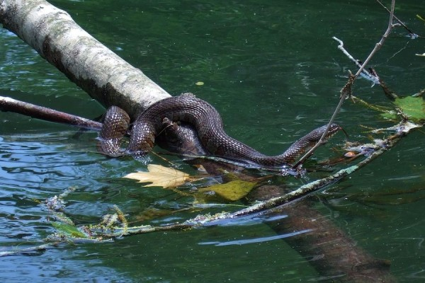 Midland Water Snake Ozarks Walkabout